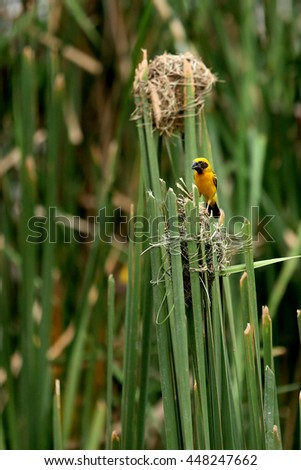 Male asian golden weaver bird make a nest on thatched. - stock photo