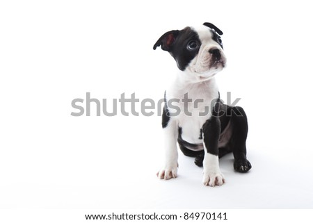 Male baby Boston Terrier on white, horizontal. - stock photo
