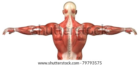 Muscle Anatomy Stock Images, Royalty-Free Images & Vectors ...