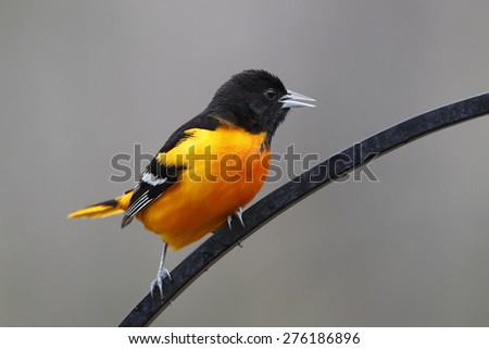 Male Baltimore Oriole (Icterus galbula) Calling while Perched on Wrought Iron Hanger in Spring - Ontario, Canada - stock photo