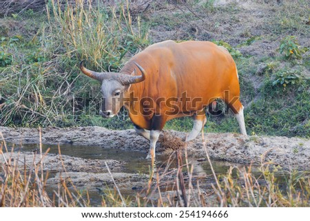 Male Banteng(Bos javanicus ) who was in Red List of Threatened Species in Endangered species walking cross the river  in nature at Wildlife Sanctuary,Thailand  - stock photo