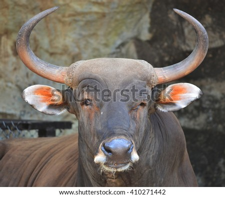 male banteng in thailand zoo