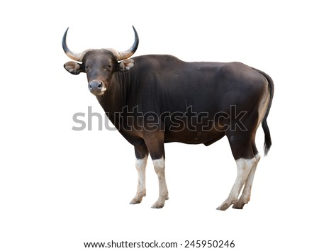 male banteng isolated on white background