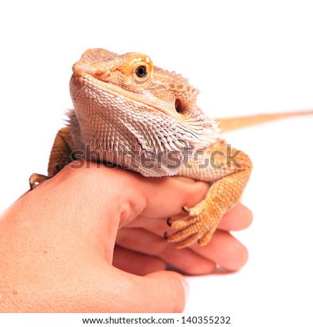 male bearded dragon sitting on hand isolated on white - stock photo