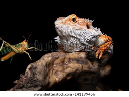 male bearded dragon spotting his prey - stock photo