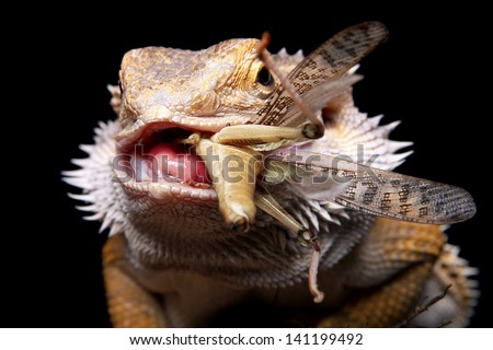 male bearded dragon swollowing a delicious grasshopper - stock photo