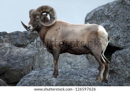 Male Bighorn Sheep - stock photo