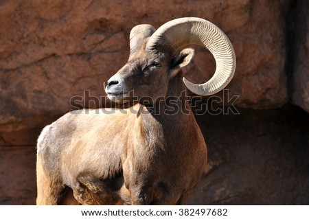 Male bighorn sheep ram with large horns on cliff - stock photo