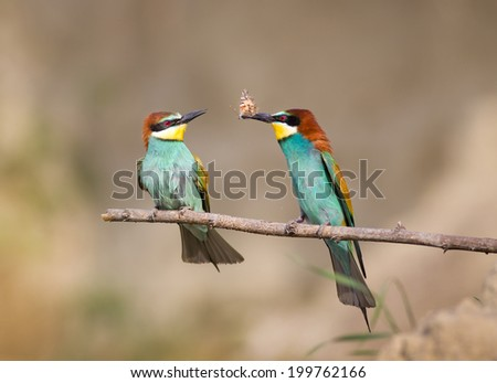 Male bird bee-eater courting by hunting insects for his female bird - stock photo