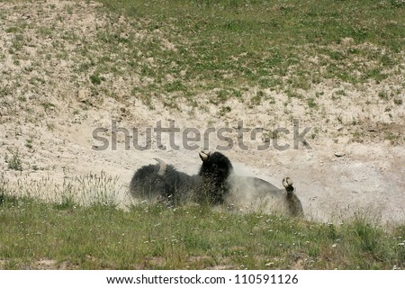 Male Bison Wallowing in Dirt, Yellowstone National Park, USA - stock photo