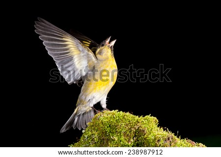 Male Black-chinned siskin (Carduelis barbata) singing with wings stretched, while perched on a moss covered stone. Patagonia, Argentina, South America. - stock photo