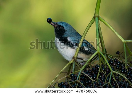 Male Black-throated Blue Warbler eating a berry.