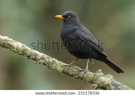 Male blackbird - stock photo