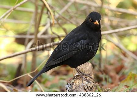 Male blackbird in a tree - stock photo