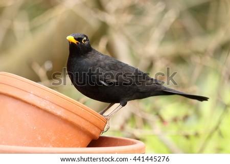 Male blackbird on a terracotta pot in the garden - stock photo