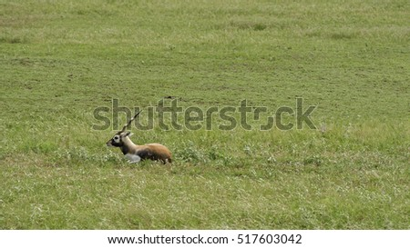 Male Blackbuck Antelope in repose in grassland
