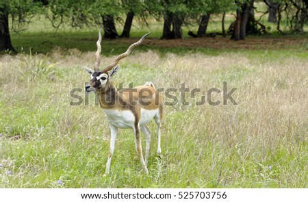 Male Blackbuck Antelope walking across grassland