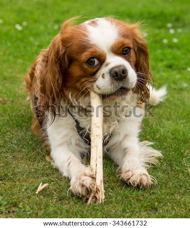 Male Blenheim Cavalier King Charles Spaniel dog, local park, Liverpool, UK