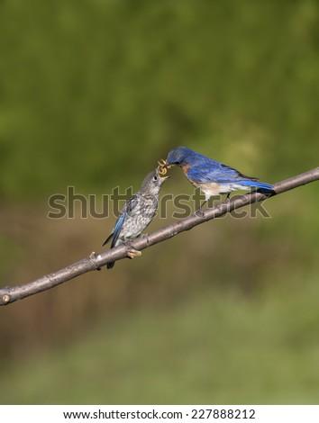 Male Bluebird Feeding his Baby - stock photo