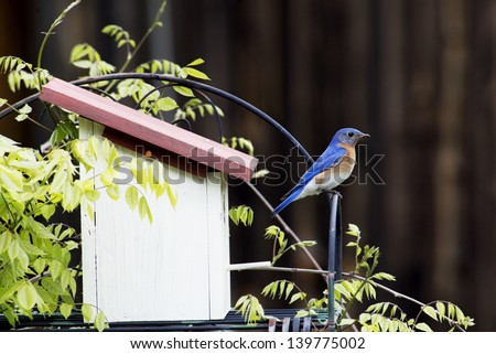 Male Bluebird perches near his nest. - stock photo