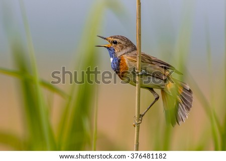 Male Bluethroat (Luscinia svecica) singing from post in breeding territory - stock photo