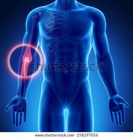 Male bone anatomy  elbow - stock photo