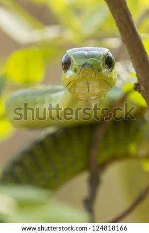 Male Boomslang snake, (Dispholidus typus), South Africa. Males are green and females brown