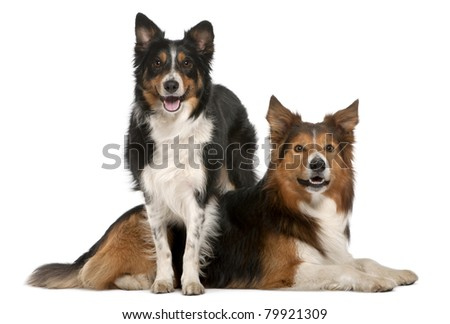 Male Border Collie, 7 years old, Female Border Collie, 3 years old, in front of white background - stock photo