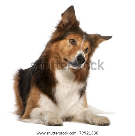 Male Border Collie, 3 years old, lying in front of white background