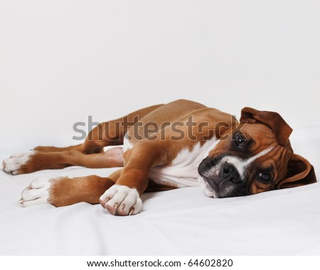 male boxer puppy