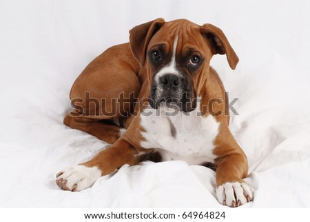 male boxer puppy posing.  plain background
