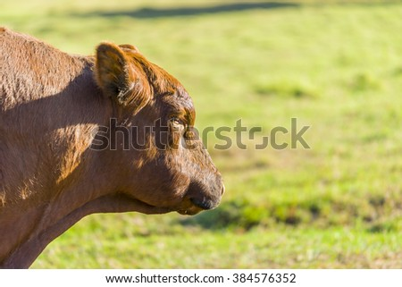 Male brown bull cowhead close up - stock photo