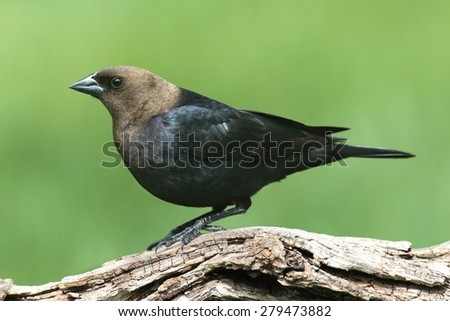 Male Brown-headed Cowbird (Molothrus ater) on a perch with a green background - stock photo