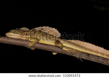 Male Brown or Common Basilisk, Basiliscus basiliscus, a diurnal or day active lizard caught sleeping on a branch overhanging a river in Costa Rica