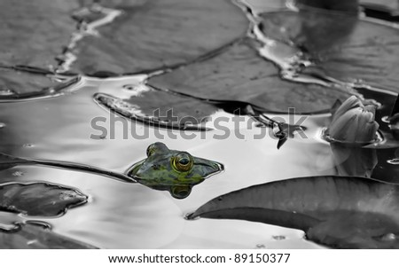 Male bull frog watching from just above the water.