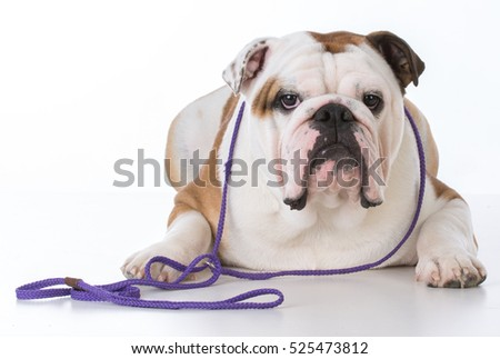 male bulldog on a purple leash on white background