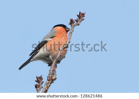 Male Bullfinch on a Japanese cherry in winter - stock photo