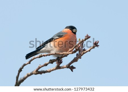Male Bullfinch on a Japanese cherry in winter (the Netherlands) - stock photo