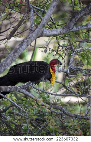Male bush turkey perched in tree - stock photo