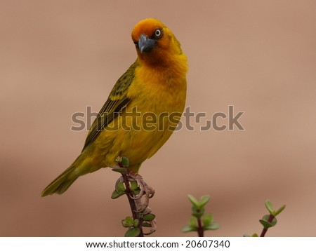 Male Cape Weaver builds the nest for the female. - stock photo