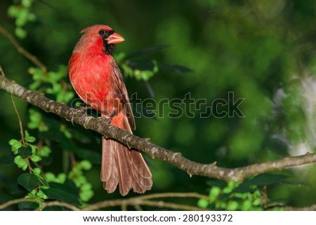 Male Cardinal Perched on a Branch - stock photo