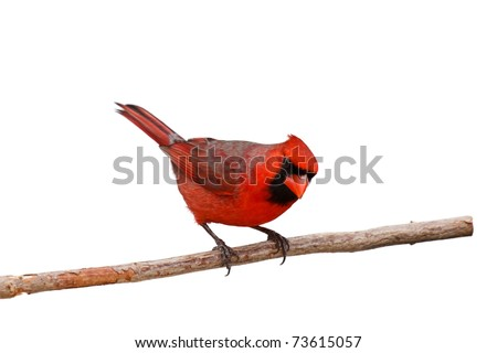 male cardinal perched on a branch peers sideways; white background