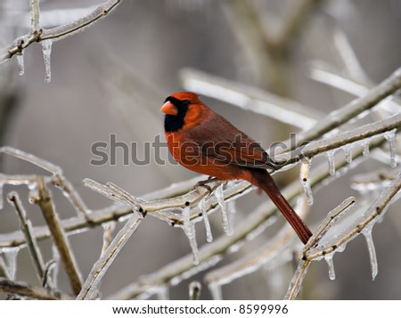 Male cardinal perched on an icy tree branch - stock photo