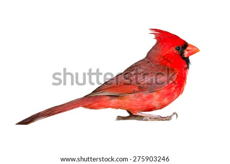 Male cardinal seen up close in profile, isolated on white - stock photo
