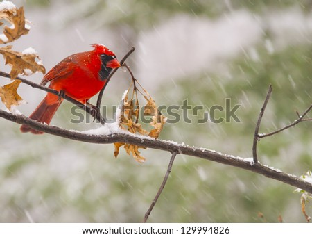 Male Cardinal setting on a branch in snowfall.