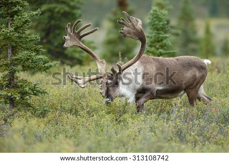 Male caribou with big antlers  - stock photo