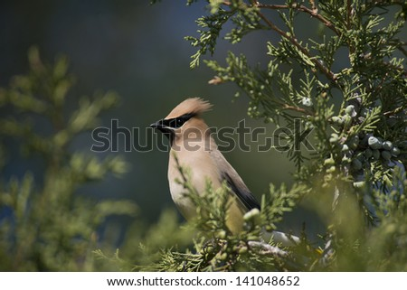 Male cedar waxwing perches in a juniper tree laden with berries. - stock photo