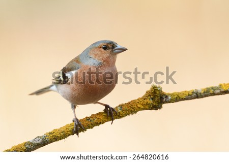 male Chaffinch (Fringilla coelebs) - stock photo