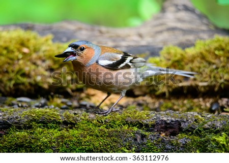 male Chaffinch fringilla coelebs on a beautiful green background