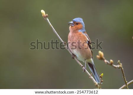 male Chaffinch (Fringilla coelebs) watching at the camera from a branch in an ecological natural garden with green background - stock photo